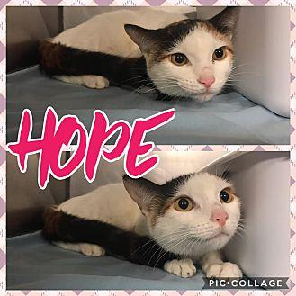 Hope Domestic Shorthair Young Female