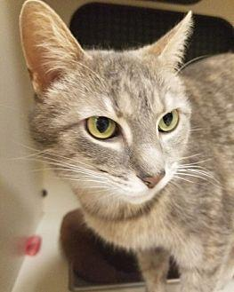 Houdina Domestic Shorthair Young Female