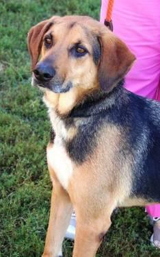 Hound - Deana - Large - Adult - Female - Dog
