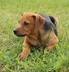 Hound - Jimmy - Medium - Baby - Male - Dog