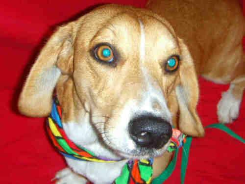 Hound - Lincoln - Medium - Young - Male - Dog