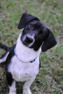 Hound - Oreo - Small - Baby - Male - Dog