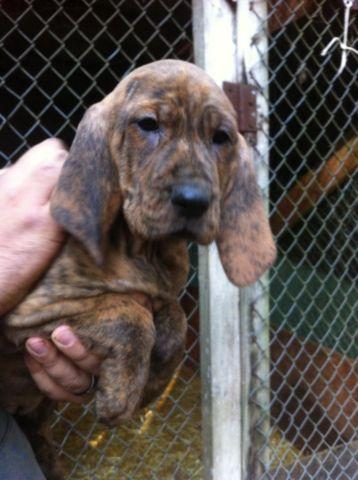 Hound Puppies For Sale In Alpine Oregon Classified