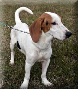 Hound - Roscoe - Medium - Young - Male - Dog