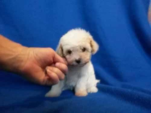 House broken, Akc Tiny toy Poodle female.