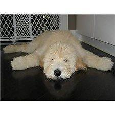 House Trained TEDDY BEAR Goldendoodles
