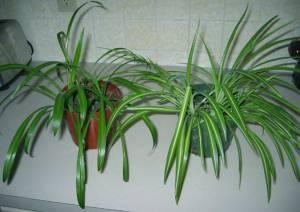 houseplants indoor plants spider airplane plants columbus area for sale in columbus ohio. Black Bedroom Furniture Sets. Home Design Ideas