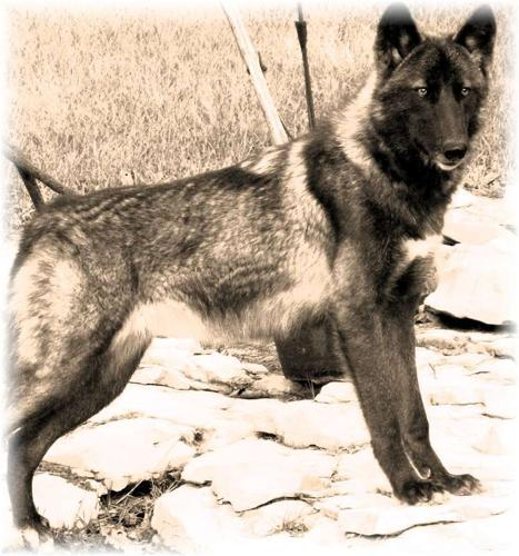 Howling Hills Wolf Pack Wolf Dogs For Sale In Poughkeepsie