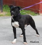 Hudson Pit Bull Terrier Adult - Adoption, Rescue