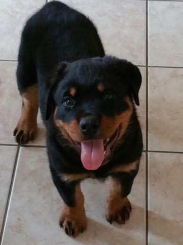 Huge Akc Rottweiler Puppies For Sale 11 Weeks Old For Sale In Los