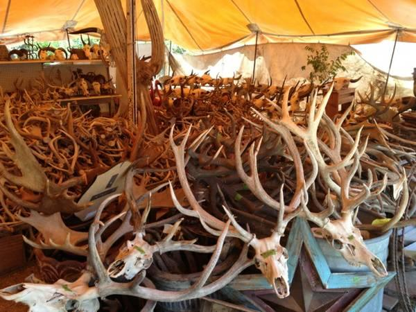 Huge Selection Taxidermy Mounts Skulls Hides Over 1000