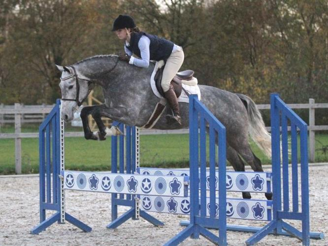 Hunter/ Jumper Dutch Warmblood Mare For Sale