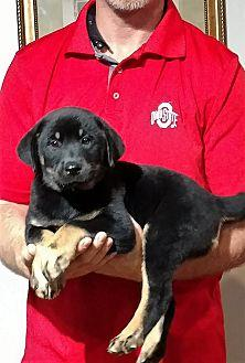 Hunter Labrador Retriever Puppy Male