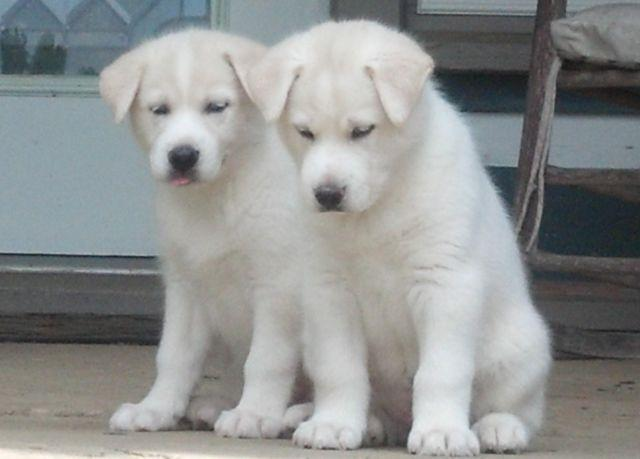 Husky Lab Female Puppies 7 Wks Old White With Blue Eyes For