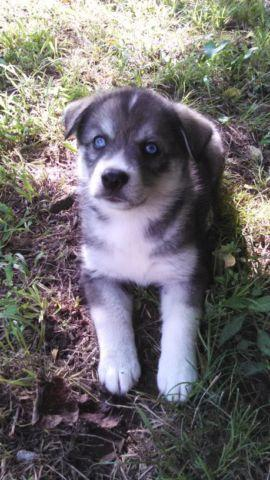 Husky Mix Puppies For Sale In Siloam Springs Arkansas