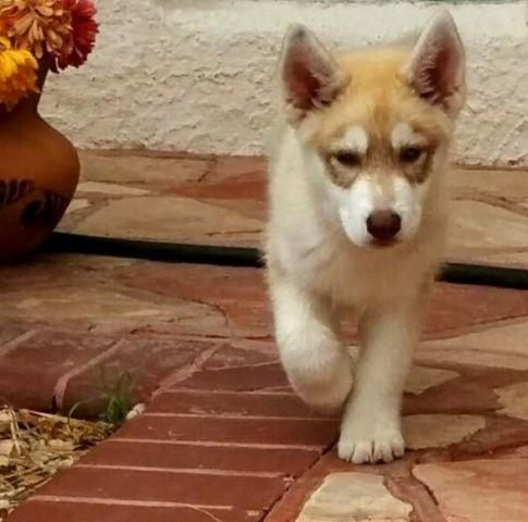 Brown And White Husky Puppies - Goldenacresdogs com