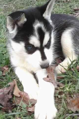 husky puppys black whites silvers blue eyes shots wormed for