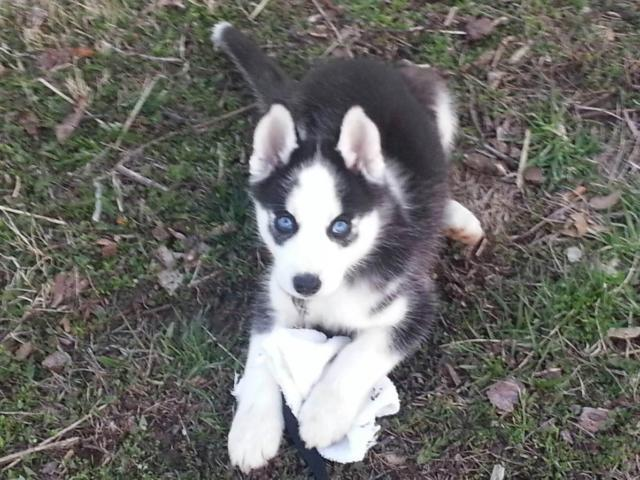 husky puppys blue eyes black whites silvers shots wormed 8
