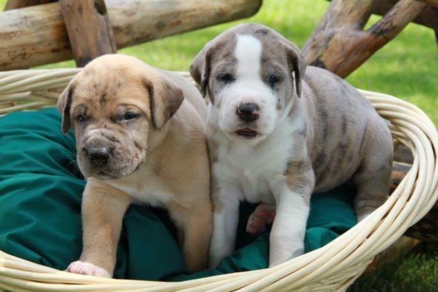 Saint Dane Puppies Goldenacresdogs