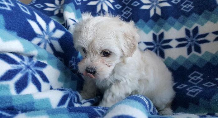 Hypoallergenic Maltese Shih Tzu Puppies For Sale In Cullman