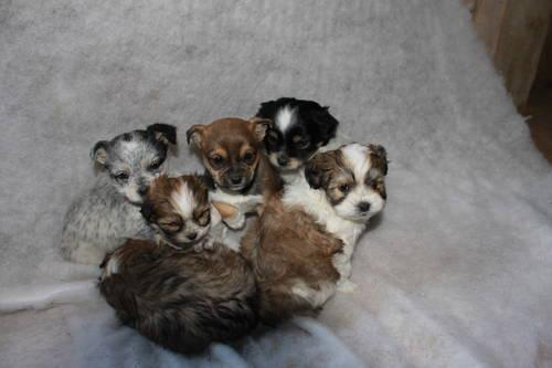 I have 6 Adorable Maltese/Shih Tzu/Terrier Puppies for