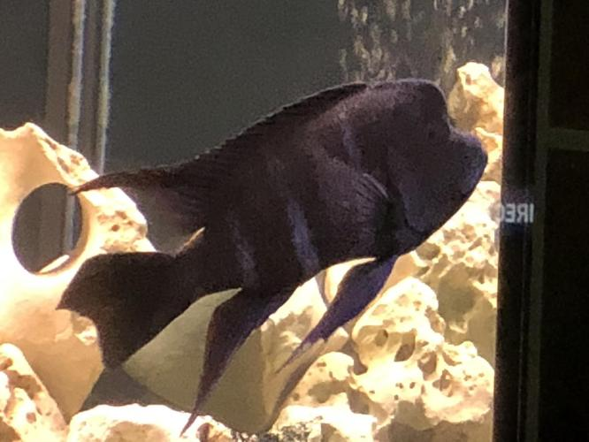 I Have A Lot Of Cichlids For Sale! for Sale in Seguin, Texas