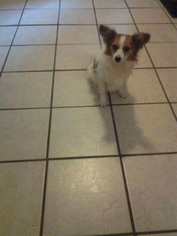 I have an 9 month old Papillon male great with kids