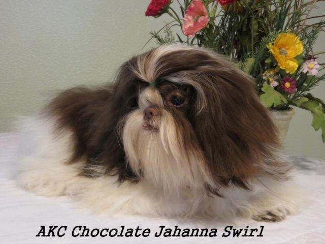 akc shih tzu puppies for sale quot i have gorgeous akc shih tzu puppies quot for sale in 3651