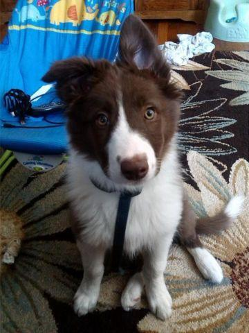 Pets And Animals For Sale In Montpelier Vermont Puppy And Kitten
