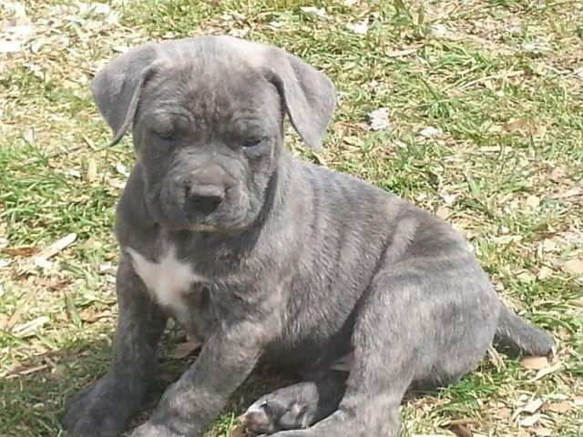 ICCF/AKC Cane Corso puppies - 75 ch pedigree for Sale in