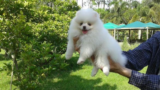 Ice-white pomeranian puppy male
