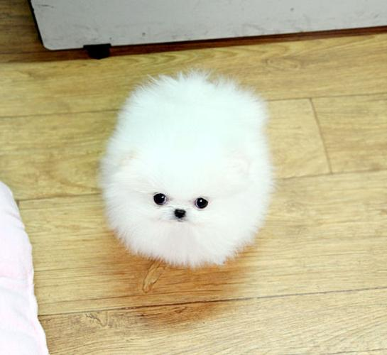 teacup white pomeranian puppy for sale ice white tea cup pomeranian puppies available 347 480 6175
