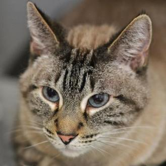 Ike Siamese Adult Male
