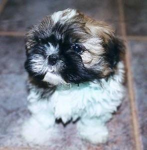Imperial Shih Tzu For Sale In Houston Texas Classified