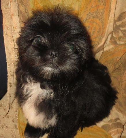 Imperial Shih Tzu (Darling Female Puppy)