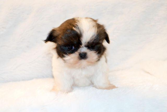 Imperial Shih Tzu Puppies Just In Time For Mothers Day For Sale