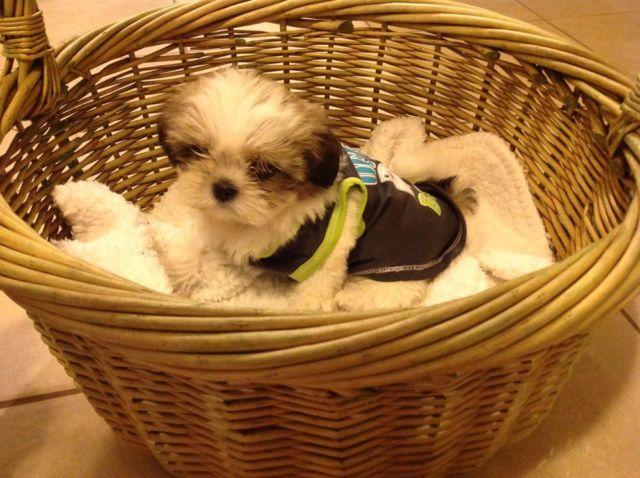 Imperial Shih Tzu Puppies Will Be Under 5 Lb For Sale In Los