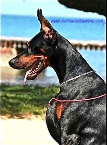 Imported Doberman AKC Pups