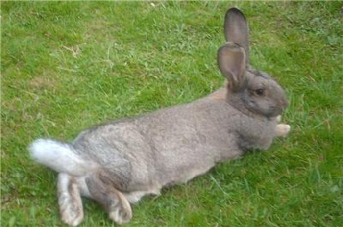 Imported World Largest Continental Giants Bunnies Rabbits!!