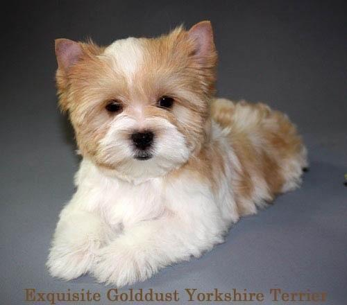 In Search Of Female Biewer Yorkie Or Golddust Yorkie For Sale In