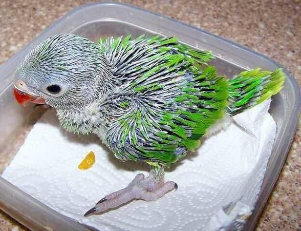 Baby indian parrot - photo#11