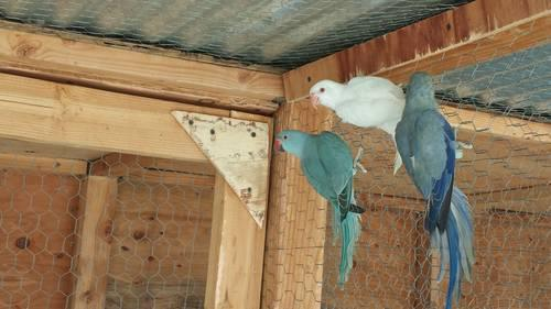 indian ringneck parakeet mutations for sale