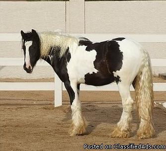 inteligent and brave gelding gypsy vanner horse for a