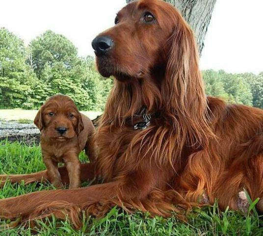 Irish Setter Boy Puppy Choco Mocha 4 Months