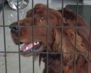 Irish Setter Rory In Ga Large Young Male Dog For Sale In