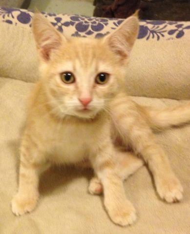 isabelle   adorable light orange dsh female kitten for