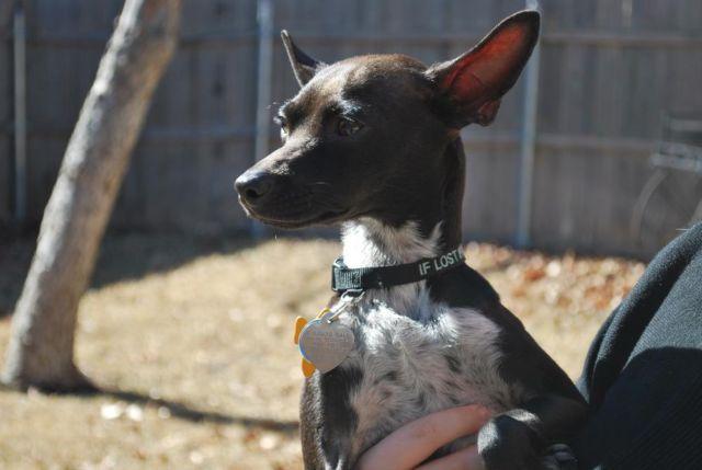 Italian Greyhound Chihuahua Mix Available For Adoption