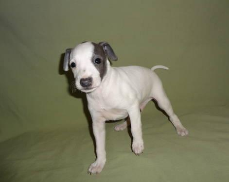 Italian Greyhound Puppies For Sale (AKC registered) for ...