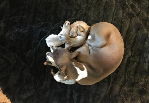 Italian Greyhound Puppy For Sale Adoption Rescue For Sale In