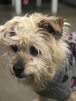 J-LO Cairn Terrier Senior Female